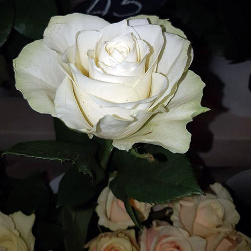 одна белая роза фото